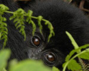 Dawn's wining image of a baby Gorilla, Rwanda